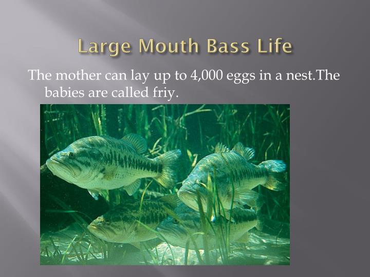 Large mouth bass life