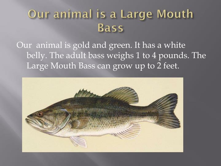 Our animal is a large mouth bass
