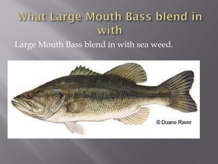 What Large Mouth Bass blend in with