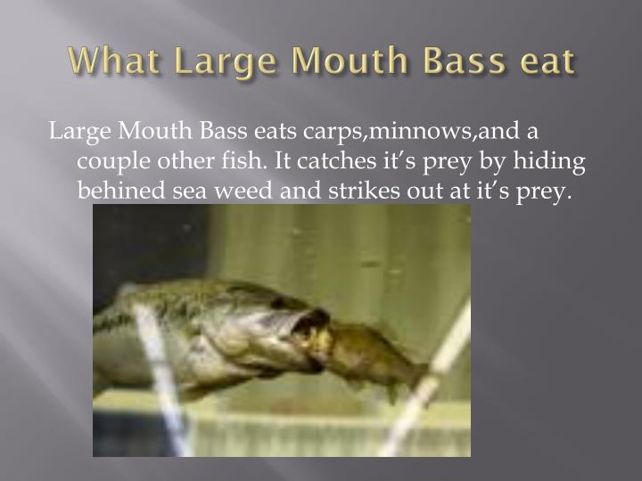 What Large Mouth Bass eat