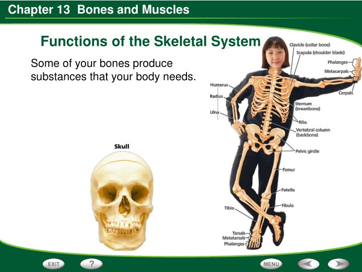 Functions of the Skeletal System