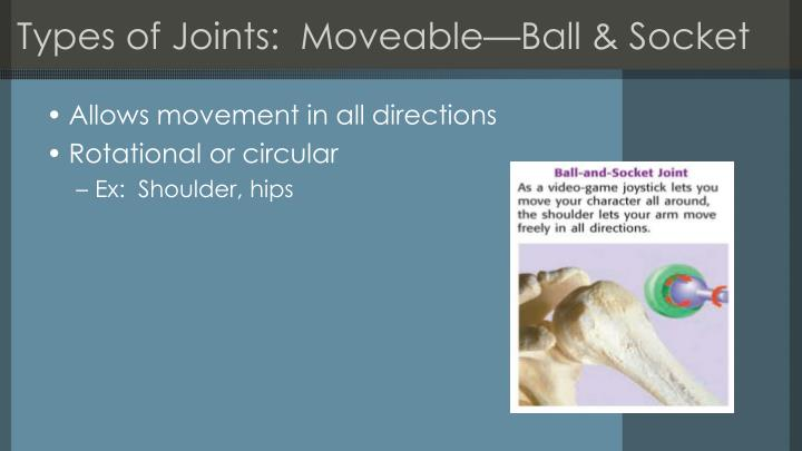Types of Joints:  Moveable—Ball & Socket