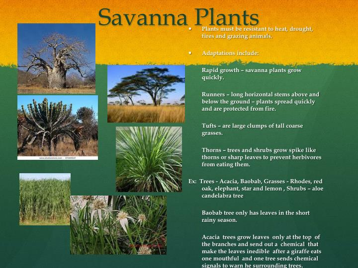 Savanna Plants