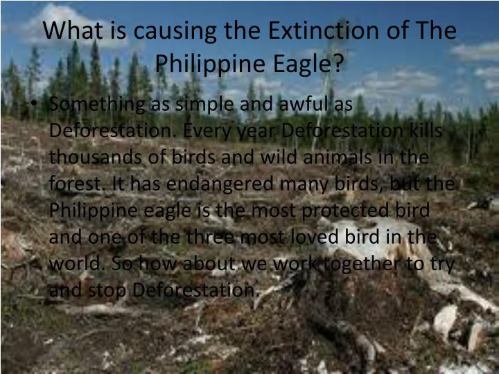 What is causing the Extinction of The Philippine Eagle?