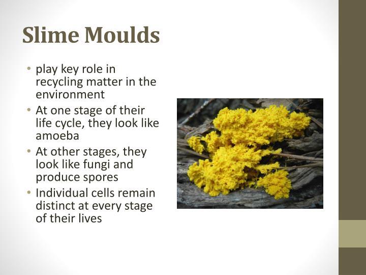 Slime moulds