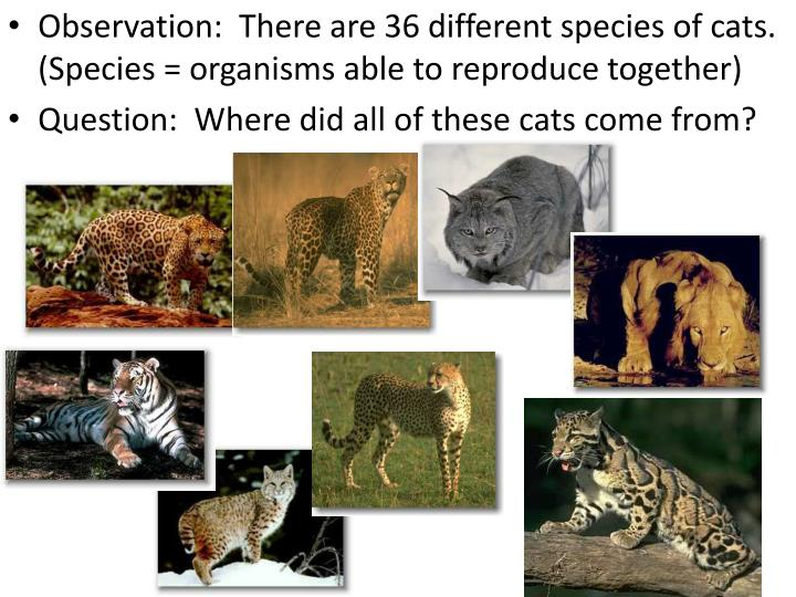 Observation:  There are 36 different species of cats.   (Species = organisms able to reproduce together)