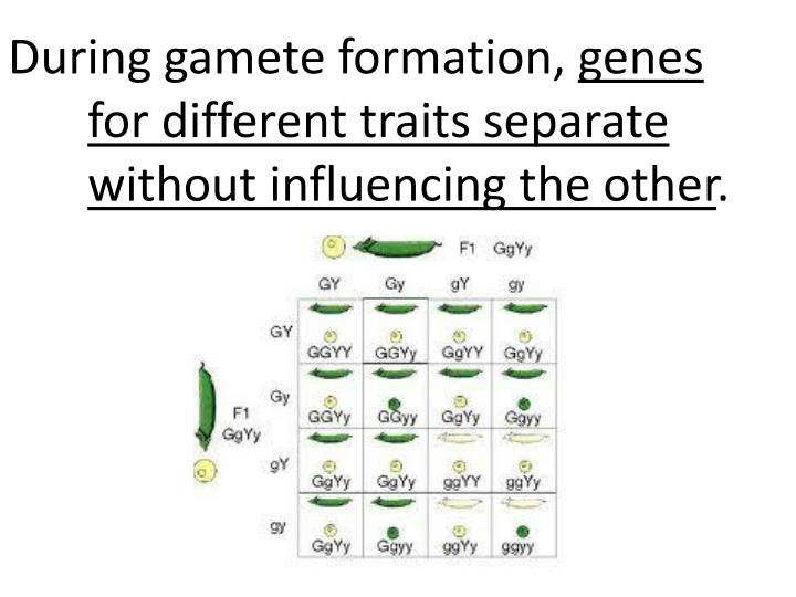 During gamete formation,