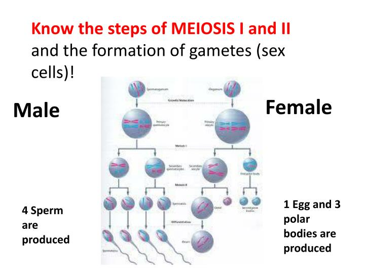 Know the steps of MEIOSIS I and II