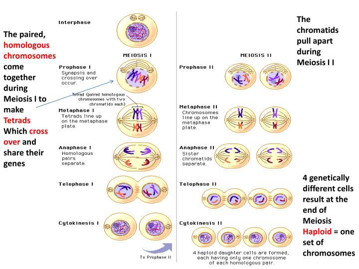 The chromatids pull apart during Meiosis I