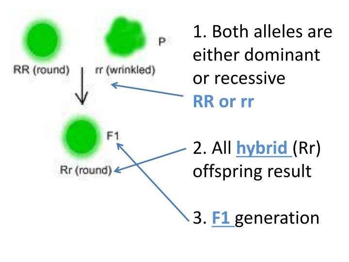 1. Both alleles are either dominant or recessive