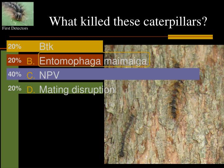 What killed these caterpillars?