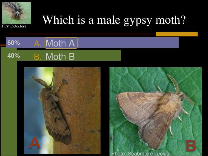 Which is a male gypsy moth