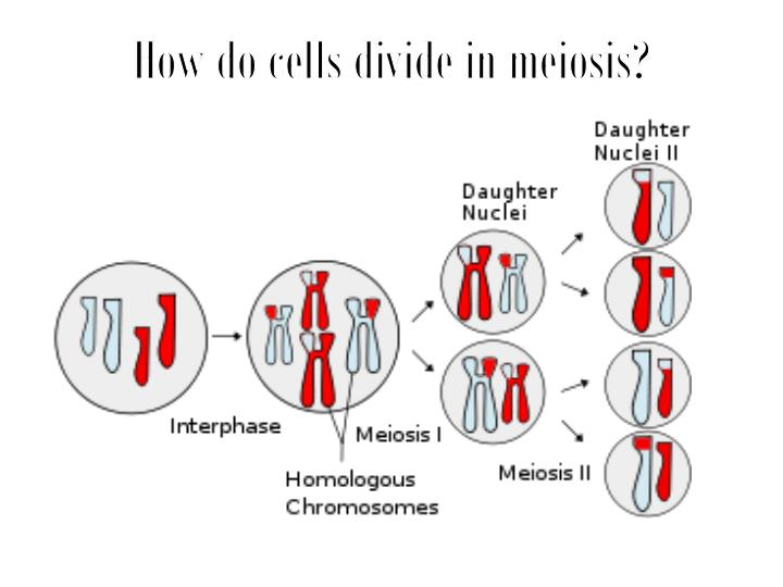 How do cells divide in meiosis?