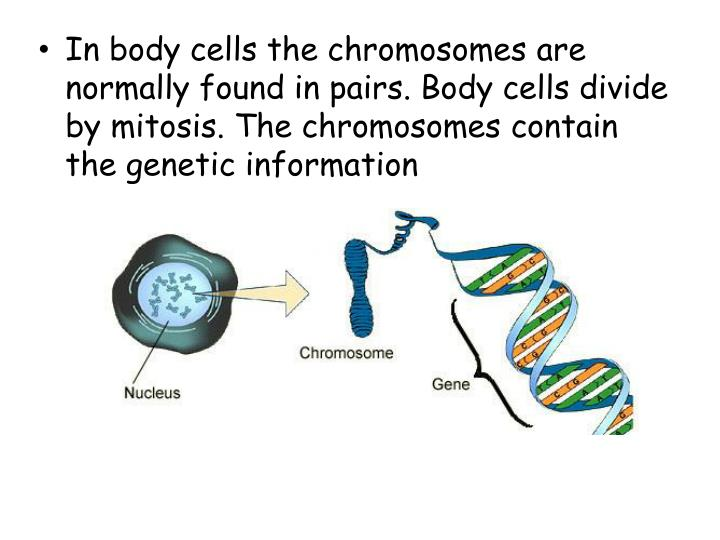 In body cells the chromosomes are normally found in pairs. Body cells divide by mitosis. The chromosomes contain the genetic information