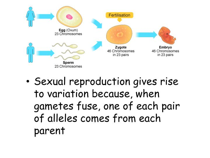 Sexual reproduction gives rise to variation because, when gametes fuse, one of each pair of alleles comes from each parent