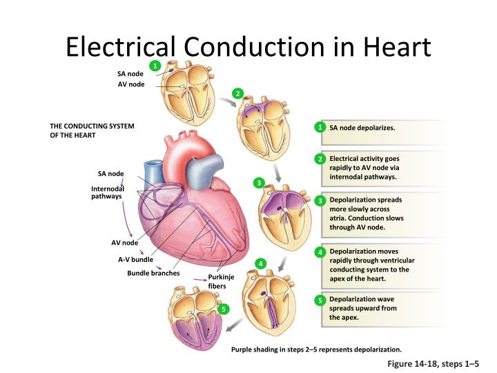 PPT - CARDIAC ACTION POTENTIAL PowerPoint Presentation ...