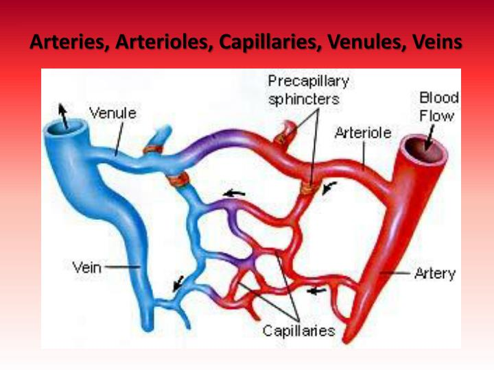 PPT - Circulatory System PowerPoint Presentation - ID:2671613