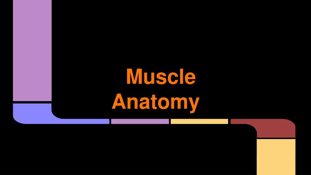 Ppt Muscle Anatomy Powerpoint Presentation Id2680591