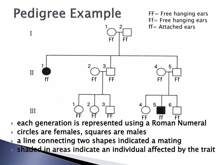 Pedigree Example