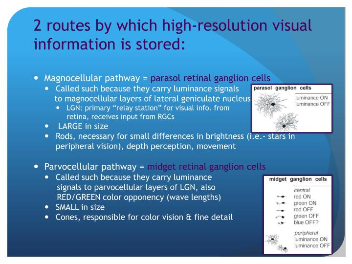 2 routes by which high-resolution visual information is stored: