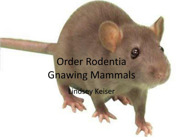 order rodentia gnawing mammals n.