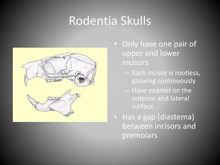 Rodentia skulls