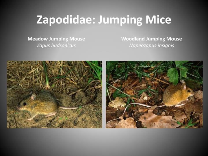 Zapodidae: Jumping Mice