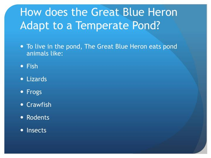 How does the Great Blue Heron Adapt to a Temperate Pond?