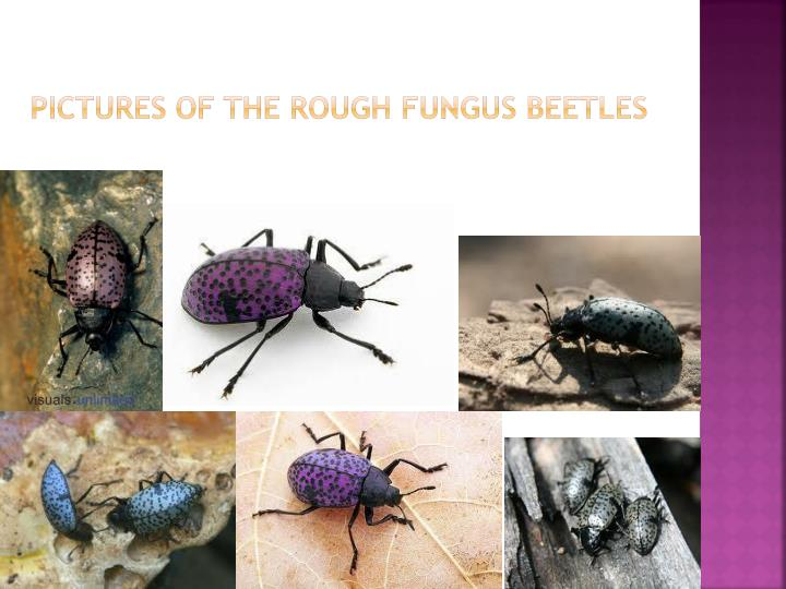 Pictures of the rough fungus beetles