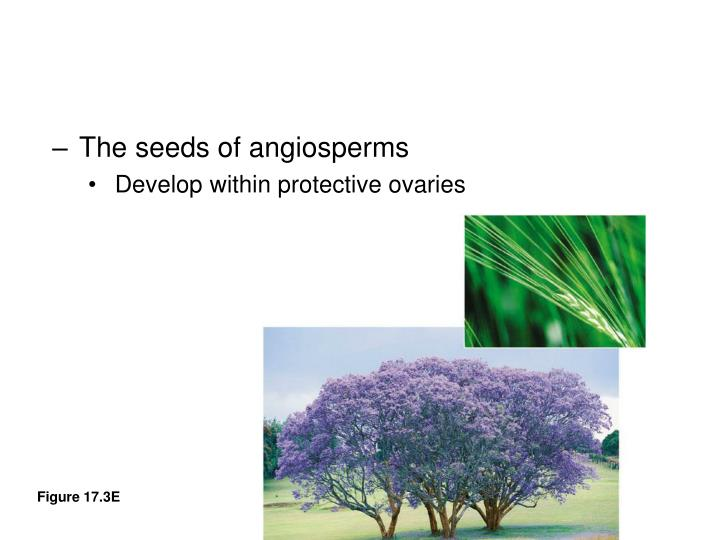 The seeds of angiosperms