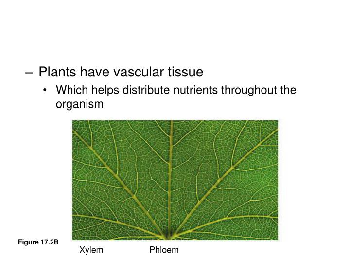 Plants have vascular tissue