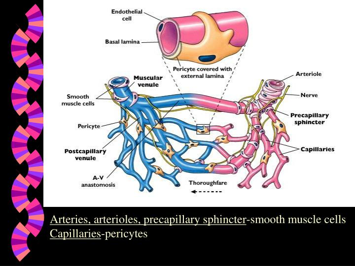 PPT - Arteries, arterioles, precapillary sphincter -smooth muscle ...