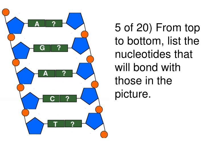 5 of 20) From top to bottom, list the nucleotides that will bond with those in the picture.