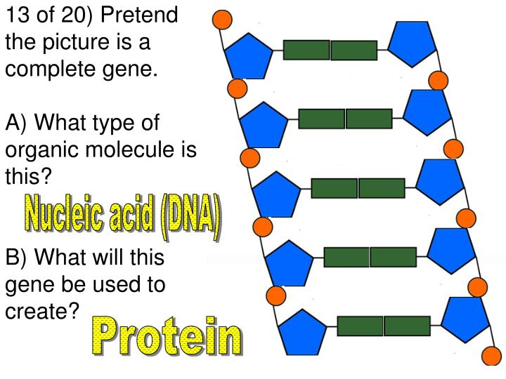 13 of 20) Pretend the picture is a complete gene.