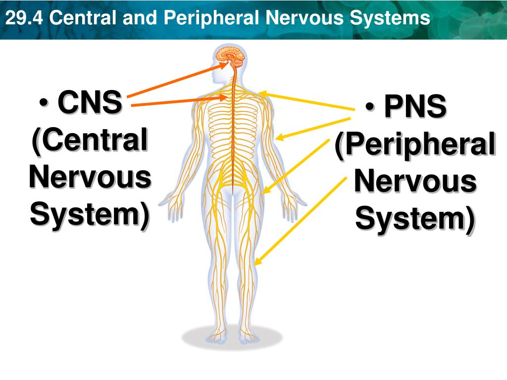 """PPT - Section 29-4 """"Nervous System """" PowerPoint ..."""