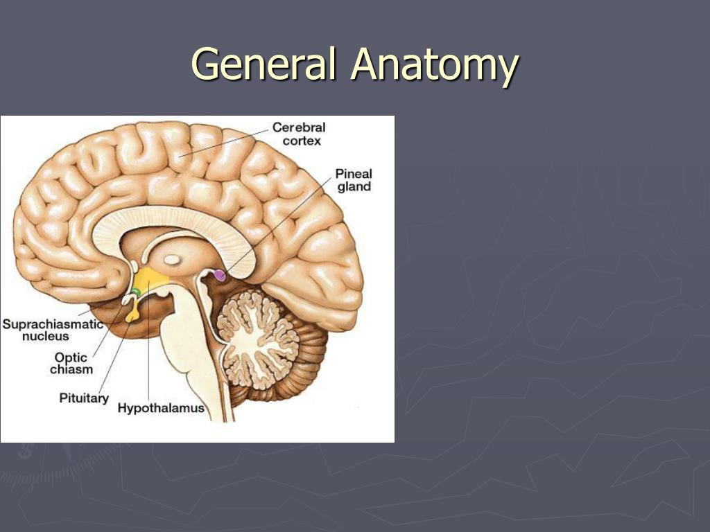 PPT - Anatomy, Histology and general pathology of the Pineal