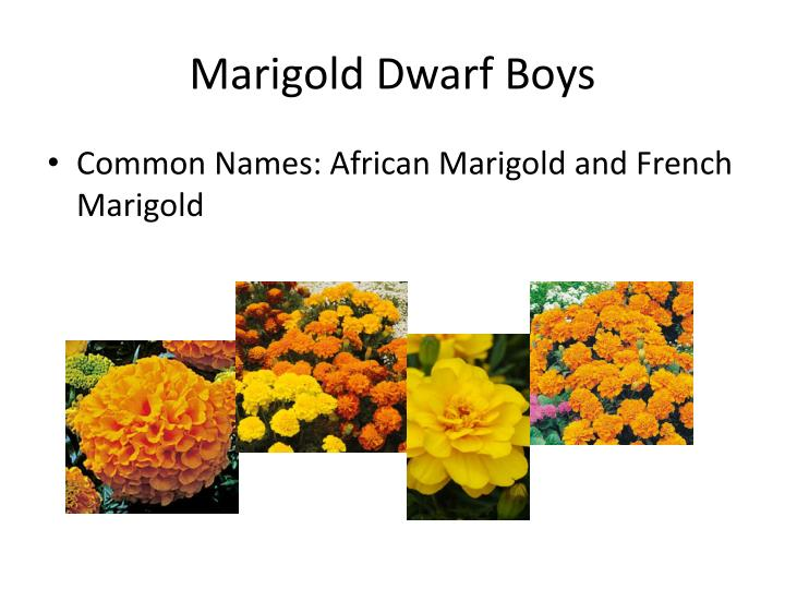 marigolds and sowing cahnge essay Marigolds word count: 354 approx pages: 1 save essay there are two major metaphors in the bluest eye, one of marigolds and one of dandelions the white people were superior the bluest eye shows ways in which white beauty standards hurt.
