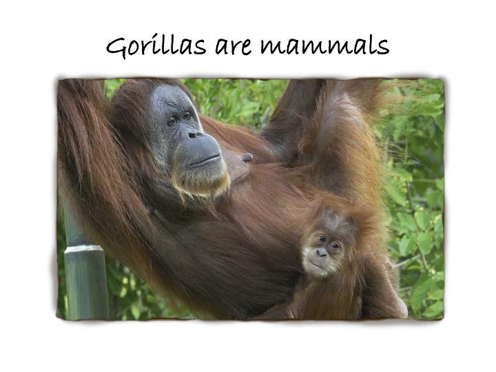 Gorillas are mammals