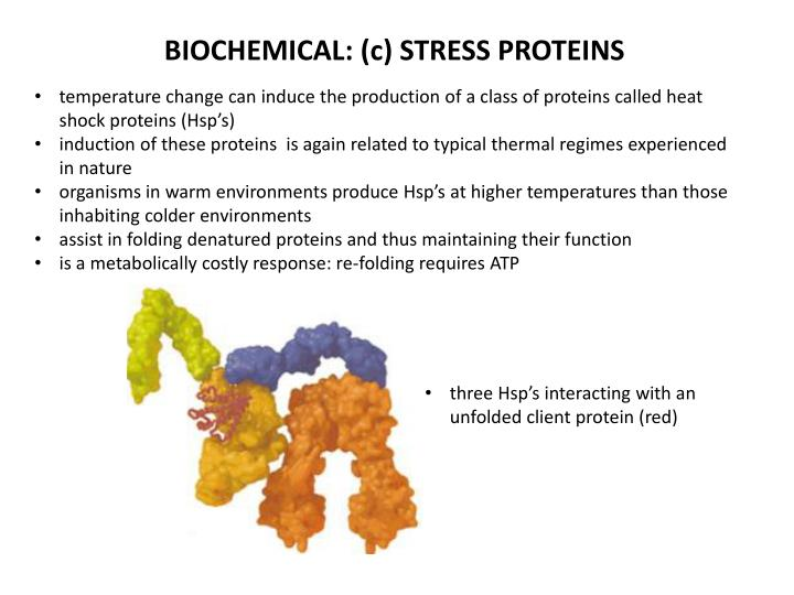 BIOCHEMICAL: (c) STRESS PROTEINS