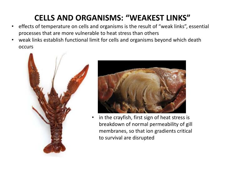 "CELLS AND ORGANISMS: ""WEAKEST LINKS"""