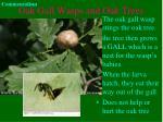 oak gall wasps and oak trees