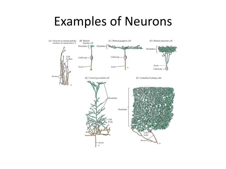 Examples of Neurons