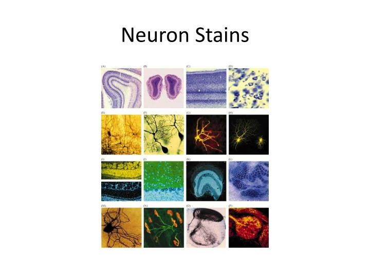 Neuron Stains