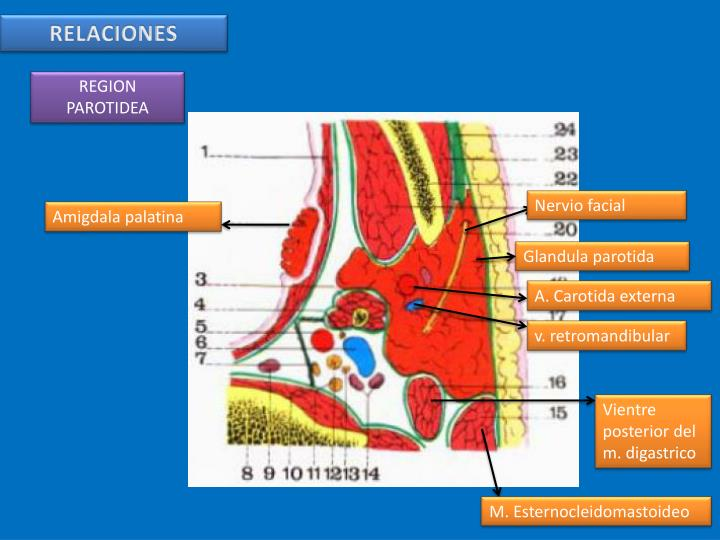 PPT - ARTERIA CAROTIDA EXTERNA PowerPoint Presentation - ID:2708272