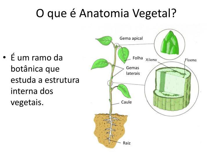 PPT - Organização interna do corpo da planta PowerPoint Presentation ...