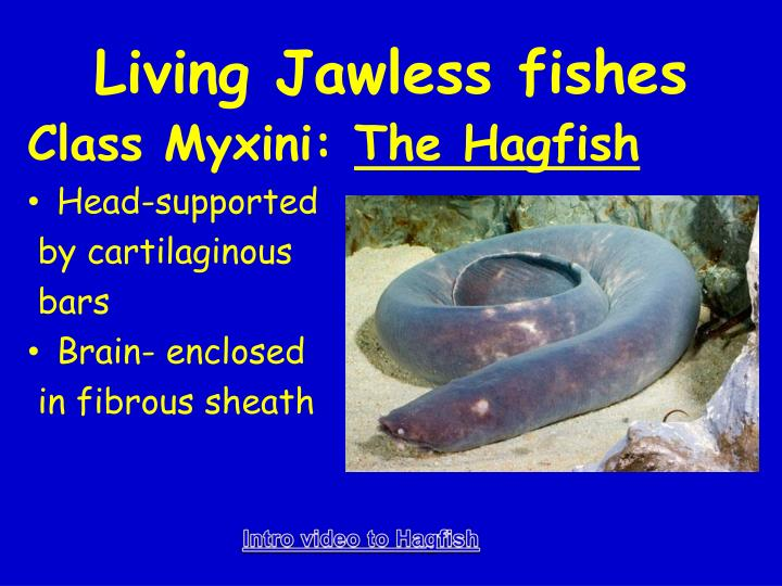 Living Jawless fishes