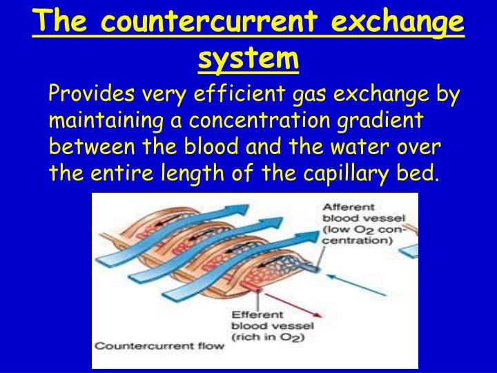 The countercurrent exchange system