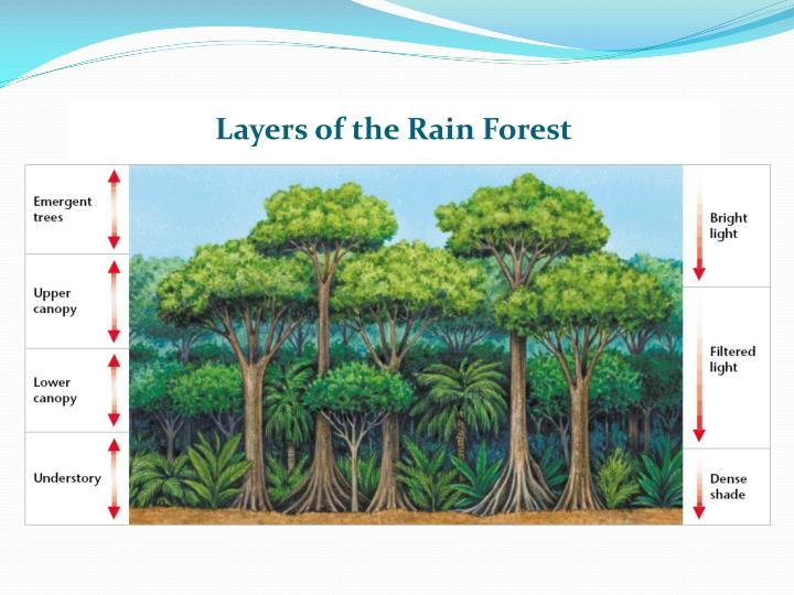 Layers of the Rain Forest