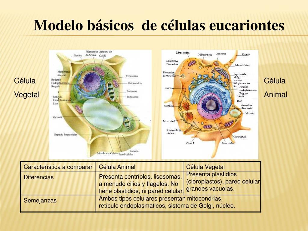 Ppt La Célula Y Sus Organelos Powerpoint Presentation