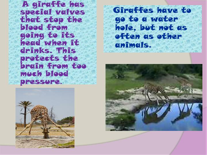 Giraffes have to go to a water hole, but not as often as other animals.